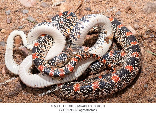 Texas long nosed snake, Rhinocheilus lecontei tessellatus, native to Texas, New Mexico, Oklahoma, Colorado, Kansas and Mexico