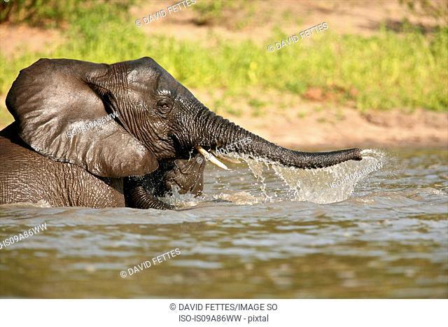 African elephant bathing, Selous National Park, Tanzania, Africa