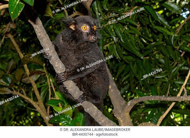 Black lemur (Eulemur macaco), male, Nosy Komba, Northwest Coast, Madagascar