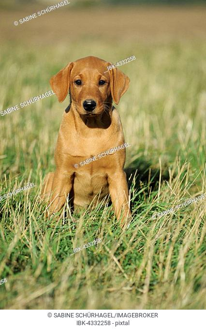 Labrador Retriever, puppy, yellow, female