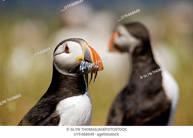Puffin (Fratercula arctica) with sandeels on the Farne Islands, England, UK
