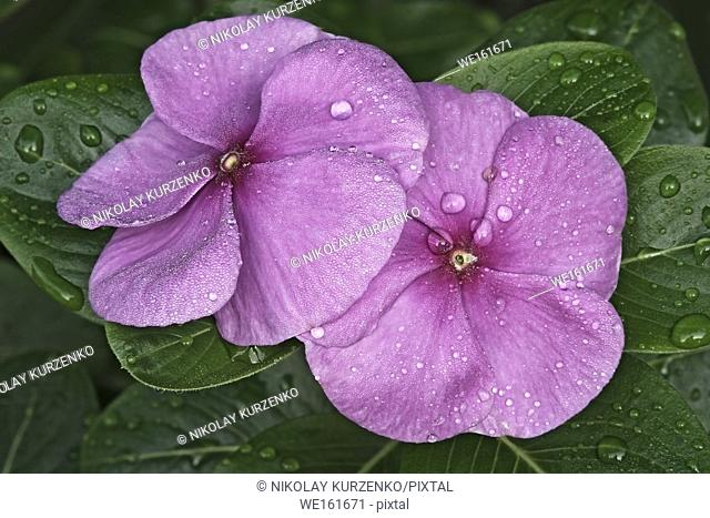Madagascar periwinkle (Catharanthus roseus). Known also as Rosy periwinkle, Rose periwinkle, Cape periwinkle, old-maid and Vinca also
