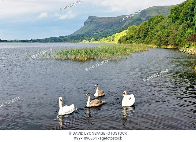 Swans on Glencar Lough below Benbulben, County Sligo, Ireland  Yeats Country  Literary association with Irish poet W  B  Yeats
