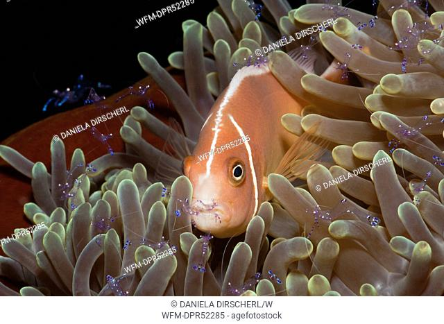 Pink Anemonefish and Anemone Commensal Shrimps, Amphiprion perideraion, Periclimenes tosaensis, Cenderawashi Bay, West Papua, Indonesia