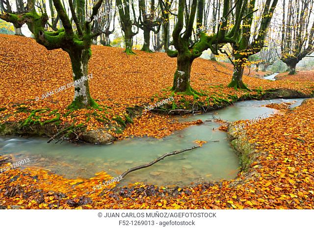 Beech forest in autumn, Gorbea Natural Park, Alava-Vizcaya, Basque Country, Spain