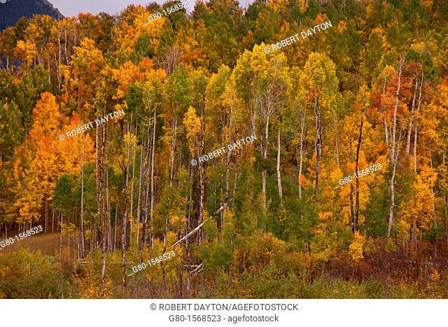 Fall color along the Last Dollar Road in Colorado