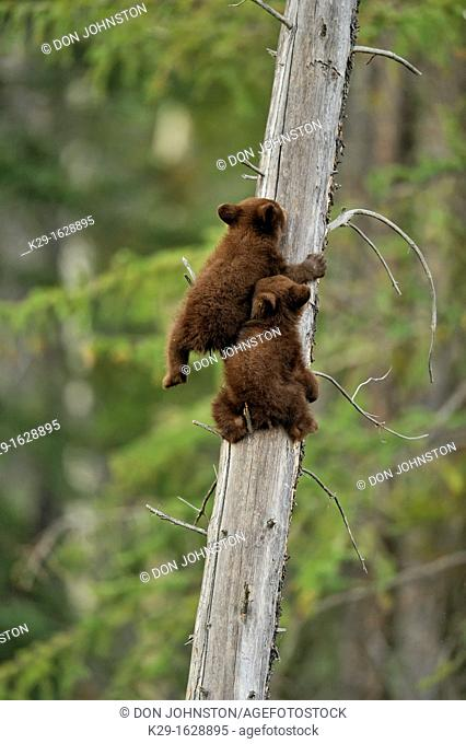 American Black bear Ursus americanus Two young cubs playing in the safety of a dead snag