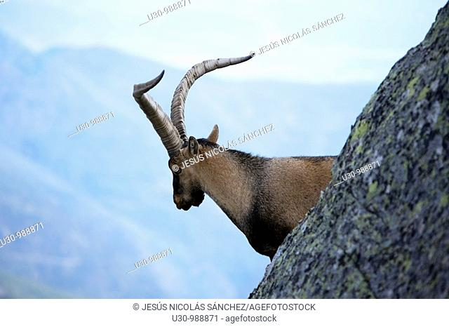 Male Spanish Ibex in Morezón peak 2 393 m next to the Circo de Gredos  Mountains of the Sierra de Gredos National Park  Navacepeda de Tormes  Ávila  Castilla y...