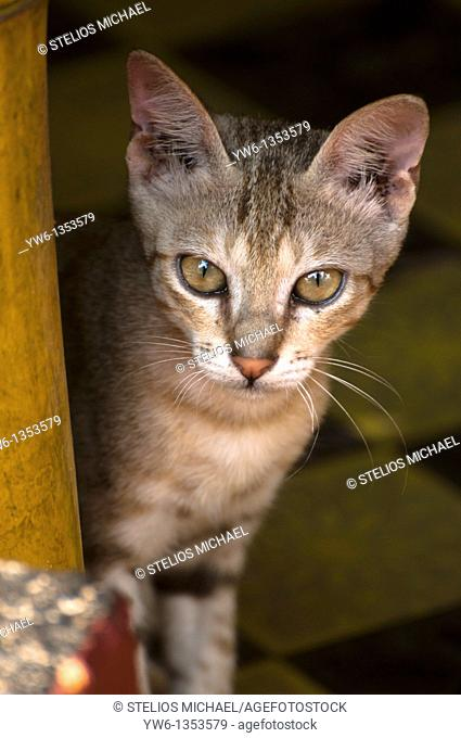 Young cat peeping from a beach hut patio in Kerala, India