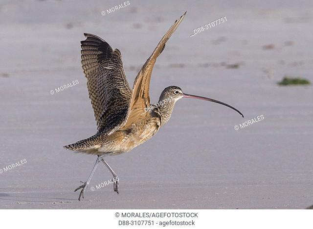 Central America, Mexico, Baja California Sur, Puerto San Carlos, Magdalena Bay (Madelaine Bay), Long-billed curlew (Numenius americanus)