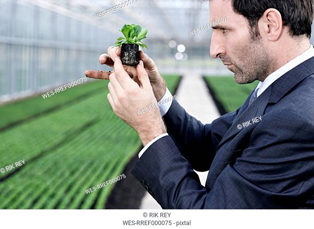 Germany, Bavaria, Munich, Mature man in greenhouse with corn salad