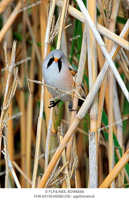 Bearded Tit Panurus biarmicus russicus adult male, perched amongst reeds, Lake Alakol, Kazakhstan, june
