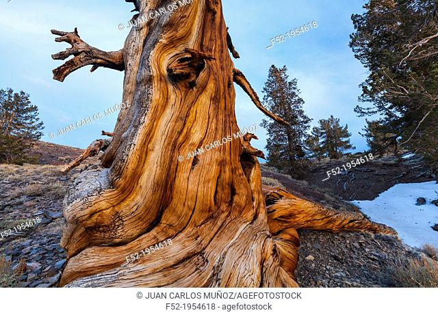 Ancient Bristlecone Pine forest, Inyo National forest, White Mountains, California, USA, America