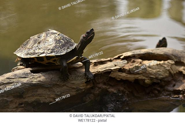 Assam Roofed Turtle also known as Sylhet Roofed Turtle bask in the sun