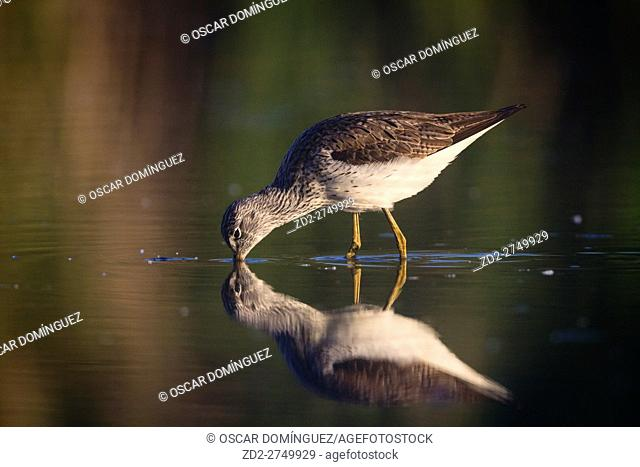 Common Greenshank (Tringa nebularia) foraging in shallow water. Ivars Lake. Lleida province. Catalonia. Spain