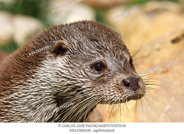 Otter (Lutra lutra), Extremadura, Spain