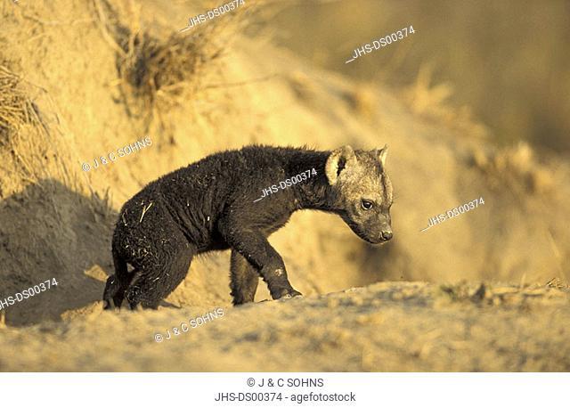 Spotted Hyaena Crocuta crocuta Sabie Sand Game reserve South Africa Africa