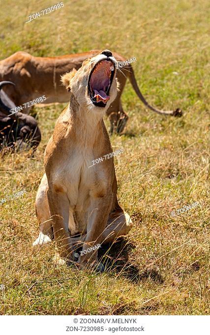 Lioness yawns during light rainstorm Africa
