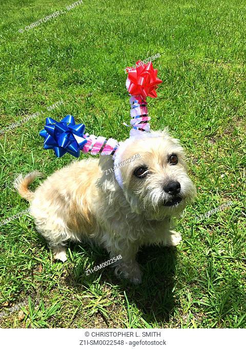 Blonde Terrier dog wearing a headband for July 4 in Port Charlotte FL