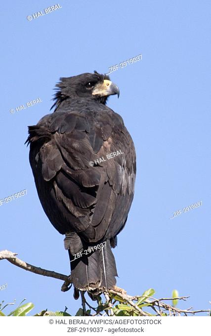 Great Black Hawk (Buteogallus urubitinga) Pantanal, Brazil