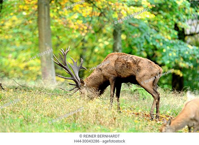 Cerviden, Cervus elaphus, local game, antlers, antler bearer, autumn, autumn mood, deer, deer, hoofed animals, red deer, red deer, red deer, animals
