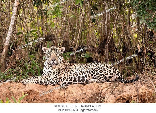 Jaguar lying on river bank dense scrub behind Pantanal Brazil