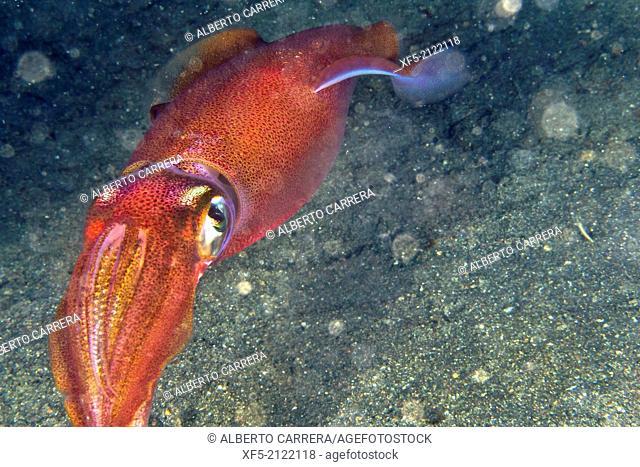 Reef Squid, Lembeh, North Sulawesi, Indonesia, Asia