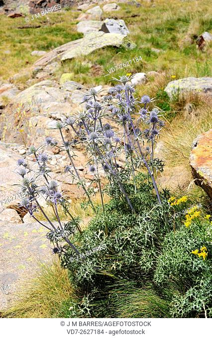 Mediterranean sea holly (Eryngium bourgatii) is a perennial herb native to Mountains of Spain, France, Morocco, Lebanon and Turkey. Angiosperms