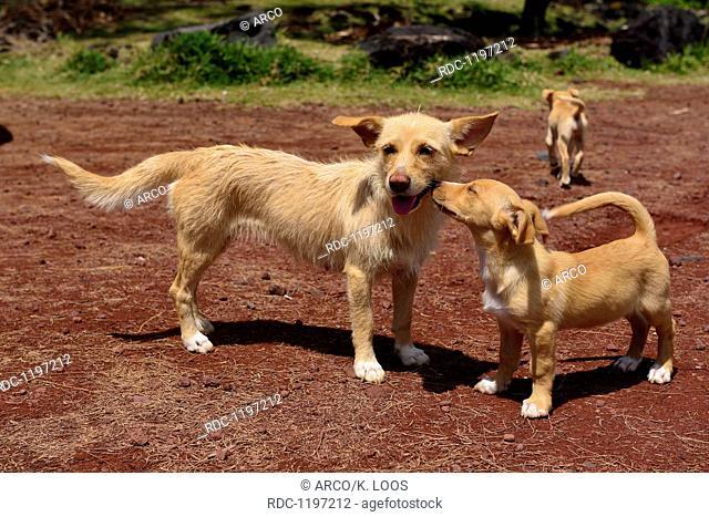 dogs at Pointe de la Table, La Reunion, France