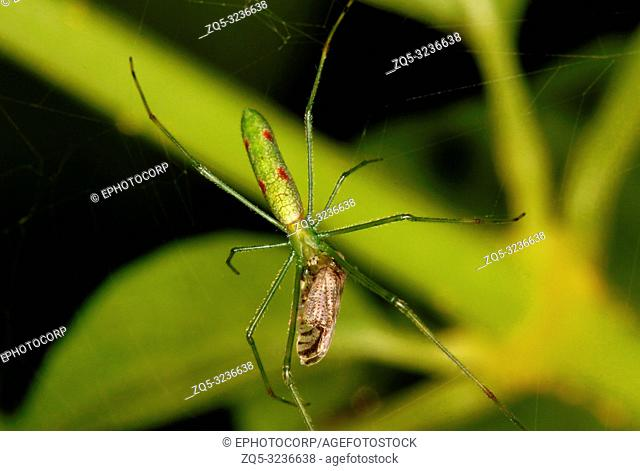 Long Jaw Orb Weaving Spider, female, with Kill, Family, Tetragnathidae, Coorg, Karnataka, India