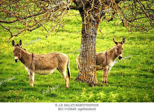 Donkeys at Saint-Martin-de-Gurson, Dordogne, Aquitaine, France