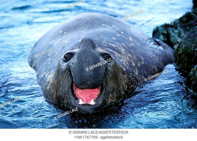 Southern Elephant Seal, mirounga leonina, Male calling, Antarctica