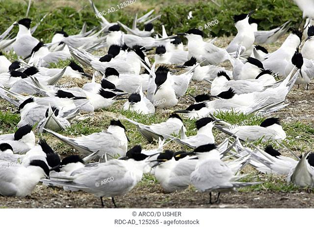Sandwich Terns nesting colony Farne Islands England Sterna sandvicensis Thalasseus sandvicensis