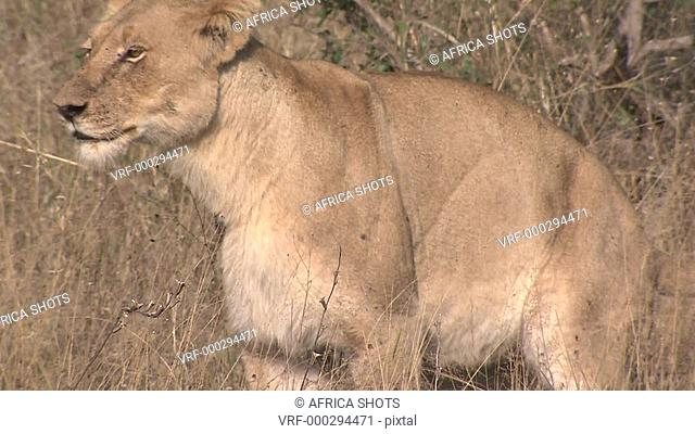 A Lioness, female Lion (Panthera leo) pooing, defecating, urinating in dry long grass. Lion behaviour, African bushveld, dry winter grass