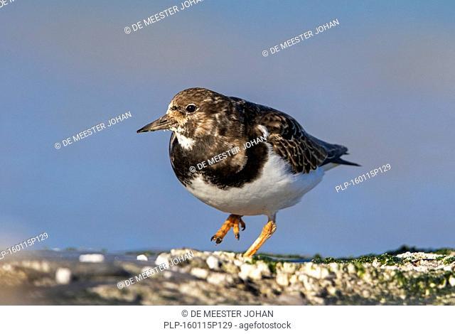 Ruddy turnstone (Arenaria interpres) in non-breeding plumage foraging along the North Sea coast in winter
