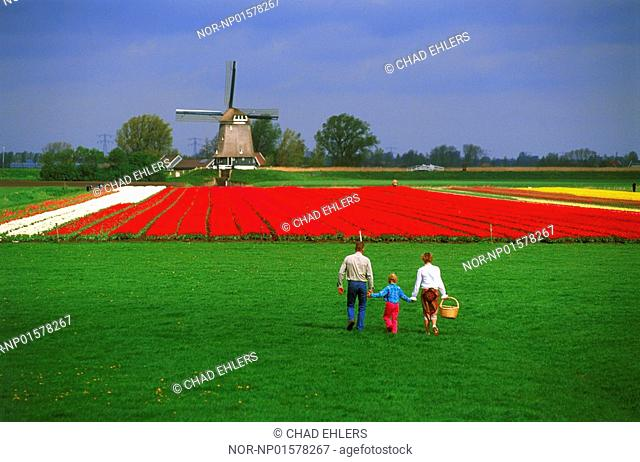 Rear view of a family walking towards tulipfield in Holland