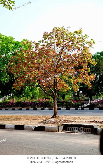 Flowering Tree Bilaspur Chattisgarh Uttaranchal India Asia