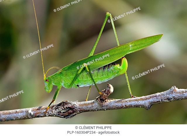 Southern sickle-bearing bush cricket (Phaneroptera nana / Phaneroptera quadripunctata) female on twig