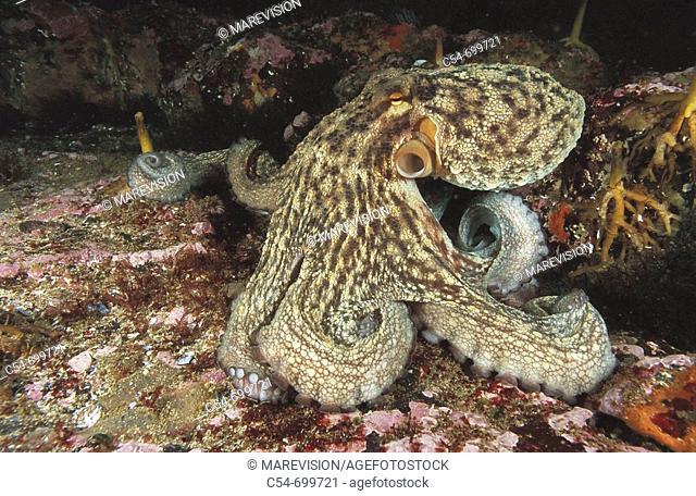 Eastern Atlantic. Galicia. Spain. Octopus (Octopus vulgaris)