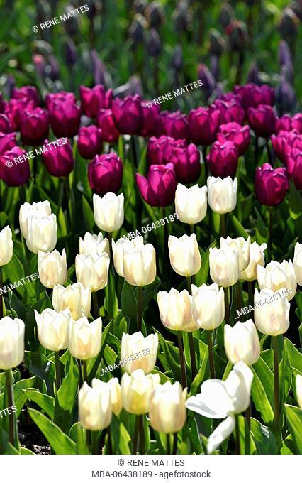 Netherlands, Southern Holland Province, Lisse, floral park of Keukenhof