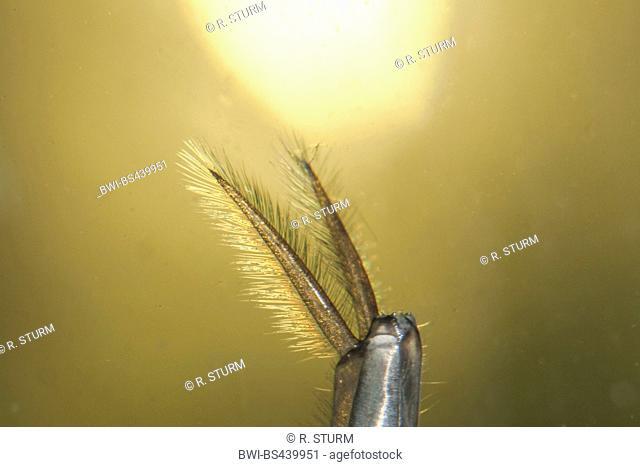 Great diving beetle (Dytiscus marginalis), breathing organs of larva, Germany, Bavaria, Niederbayern, Lower Bavaria