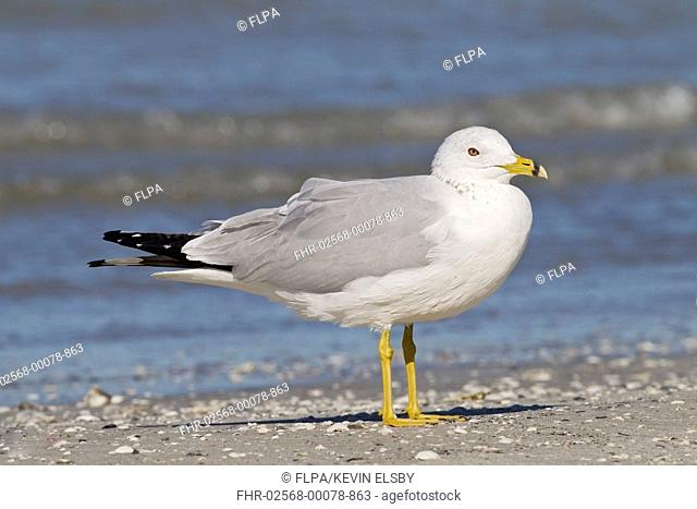Ring-billed Gull (Larus delawarensis) adult, standing on beach, Florida, U.S.A., March