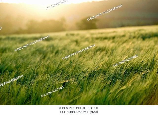 Close up of grass blowing in field