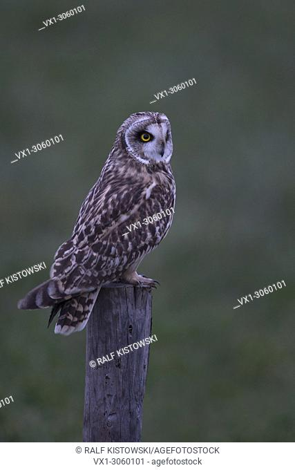 Short-eared Owl ( Asio flammeus ) at dusk in last twilight, perched on a wooden fence pole, hunting, wildlife, Europe. .