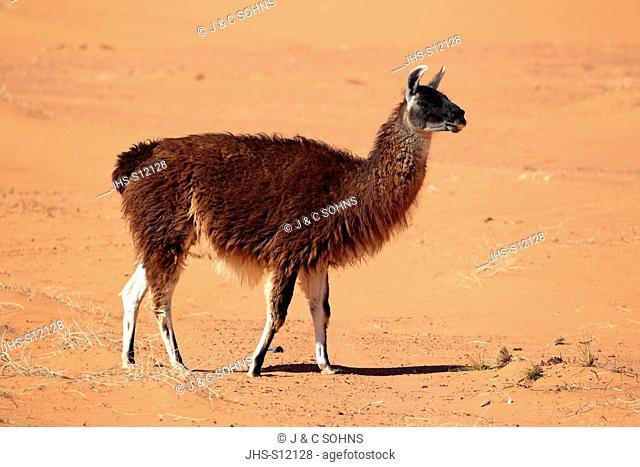 llama, (Lama glama), Monument Valley, Utah, USA, adult