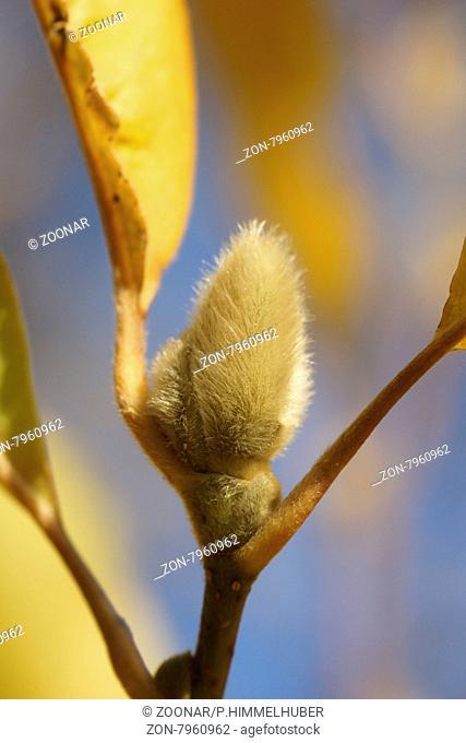 Magnolia x loebneri, Tulpenmagnolie, Herbstlaub und Blütenknospe