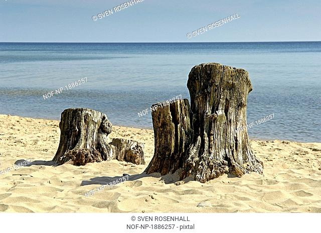 Tree stumps on the beach, Osterlen, Skane, Sweden