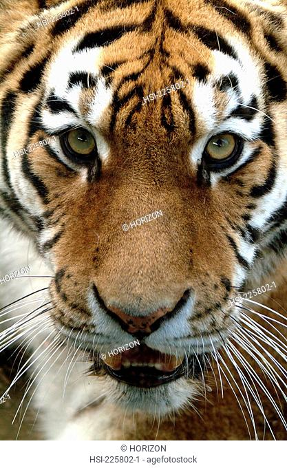 Wildlife, Mammal, Bengal Tiger