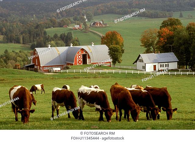 Vermont, farm, Cows grazing in pasture at the scenic Diamond Heart Heart farm in the fall in East Albany