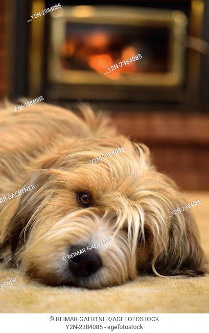 Scruffy bearded dog lying on carpet by the fireplace